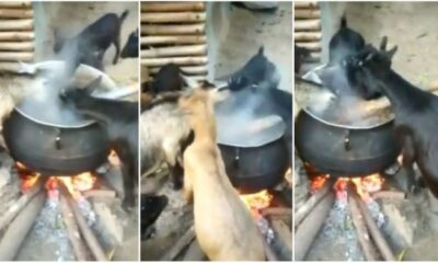 Goats hold social media to ransom after eating food from pot on fire